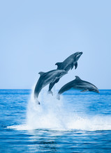 Group Of Jumping Dolphins, Beautiful Seascape And Blue Sky