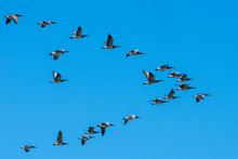 Canadian Geese Flying South In Plow Formation