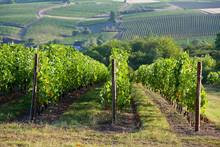 Vigne En Anjou > Maine Et Loir...