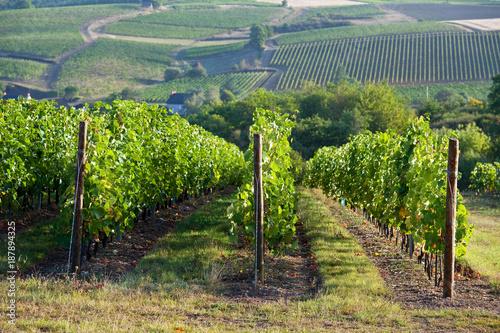 Vigne en Anjou > Maine et Loire > France Canvas Print