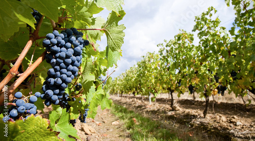 Valokuva  Raisin et vigne en Anjou > Maine et Loire > France