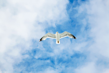sea gull soars in blue sky with white clouds