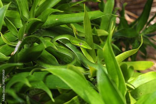Baumschnüffler (Ahaetulla nasuta) - Green vine snake / Sri Lanka