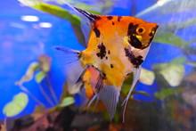 Red Devil Skalar, Ein Schöner Süßwasser-Aquariumfisch