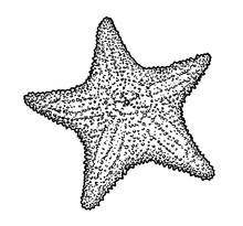 Starfish Illustration, Drawing...