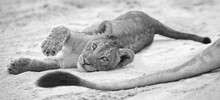 Small Lion Cub Lay Down To Res...