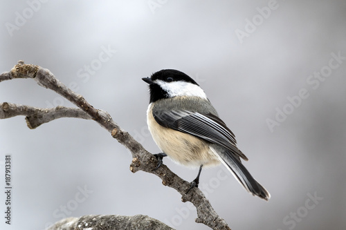 Photo Chickadee