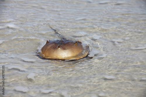 Photo  horseshoe crab