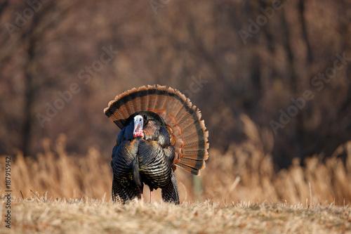 Obraz Wild Turkey - fototapety do salonu