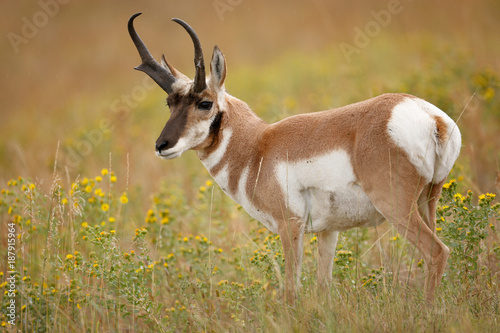 Pronghorn Canvas Print