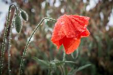 Wet From The Rain Poppy Flower...