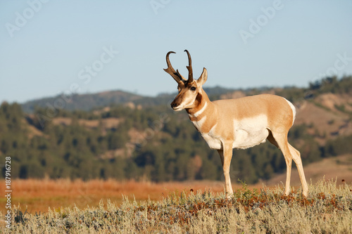 Photo sur Aluminium Antilope Pronghorn Antelope