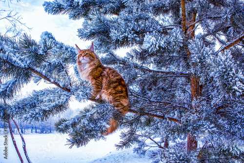 Photo  A very nice wild red and white maine coon cat sitting on the pine tree in the winter snowy forest