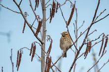 Sing Vogel Sperling Spatz Auf Erle Zweig Baum Lenz 2018 Frueh Jahr