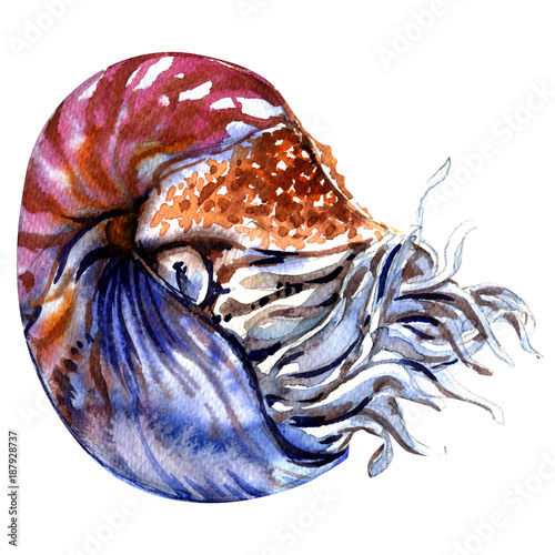 Fotografie, Obraz  Chambered nautilus, Nautilus pompilius, pearly nautilus, shell isolated, waterco