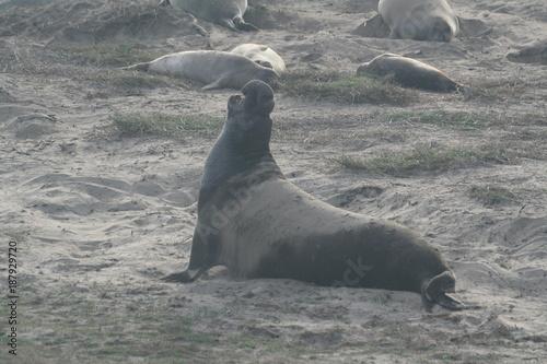 Bull Elephant Seal Poster