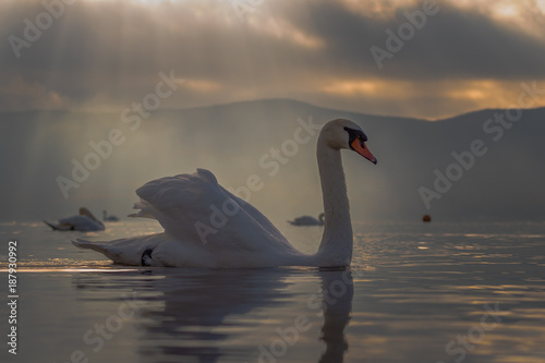 Poster Cygne White Swan feeling romantic and love at Lake Yamanaka with Mt. Fuji background
