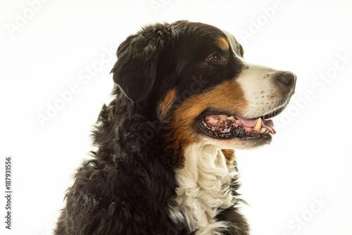 Cadres-photo bureau Chien Bernese Mountain Dog (Berner Sennenhund) in studio with white background