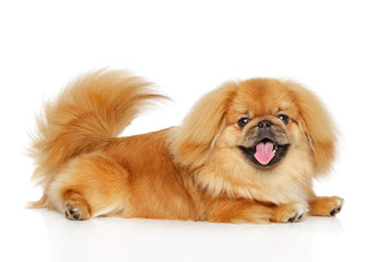 Happy Pekingese dog on white background