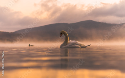 White Swan  at Lake Yamanaka with Mt. Fuji background