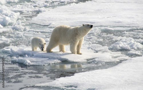 Fotobehang Ijsbeer Mother Bear and Cub searching for seals on the Arctic ice cap
