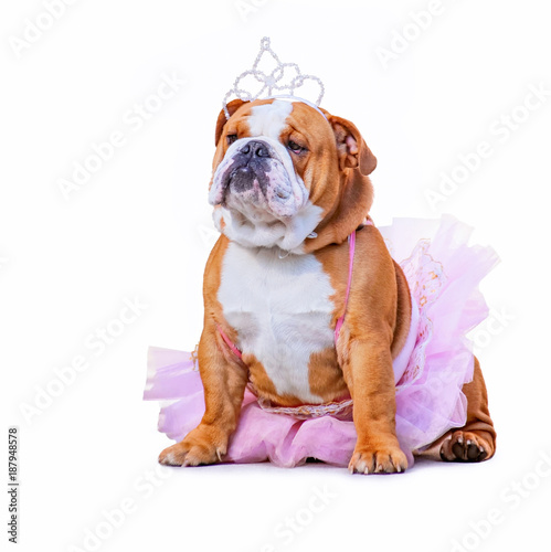 Fotografie, Obraz  cute bulldog dressed up in a pink tutu and a princess tiara crown isolated on a