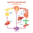 Appetite and hunger hormones vector diagram illustration, graphic educational scheme. Educational medical information.