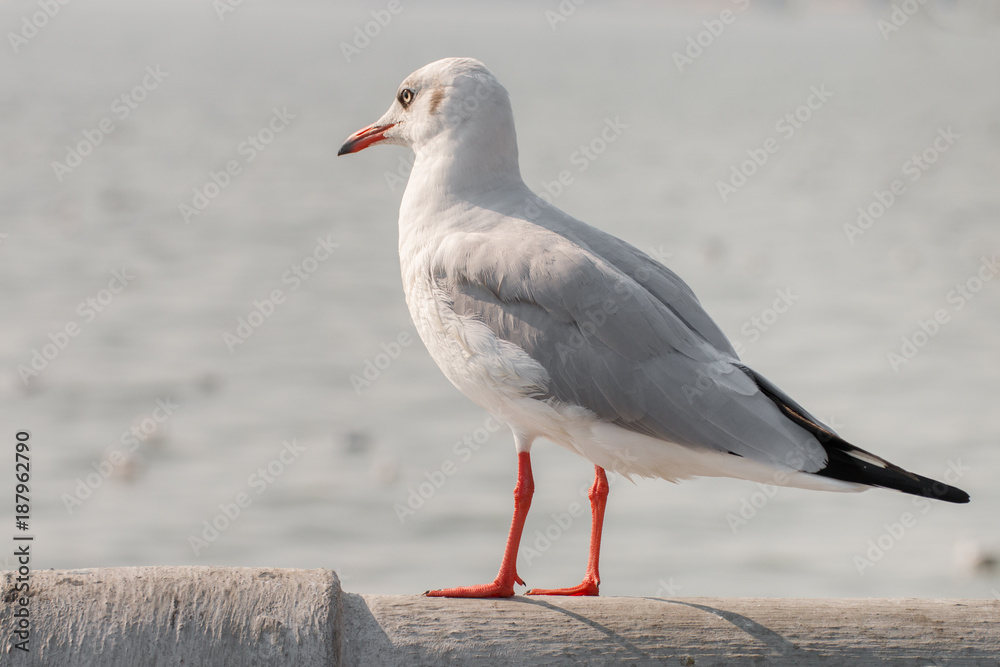 seagull stand and looking on the sea.