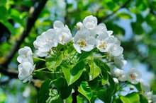 Flowering Branch Of Pear Bloom...