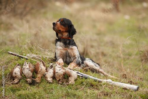 Cuadros en Lienzo hunting dog epagnol Breton on the hunt for bird
