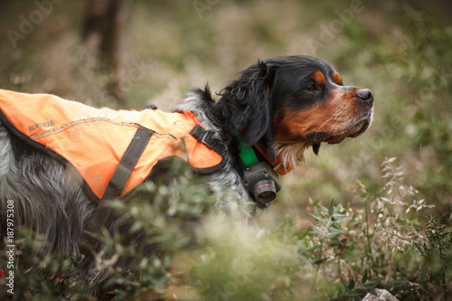 Fototapeta hunting dog epagnol Breton on the hunt for bird