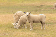 Three Baby Sheep On Dry Green ...