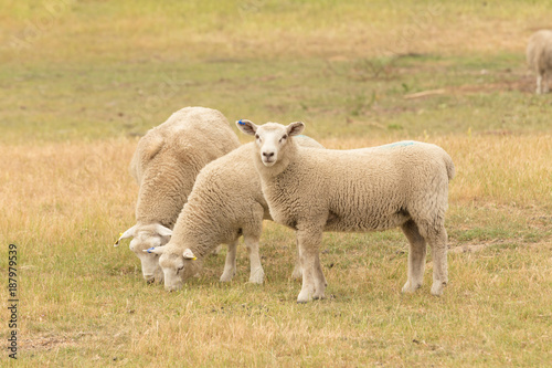 Three baby sheep on dry green glass, farm animal