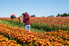 Fields Of Tulips Being Harvested