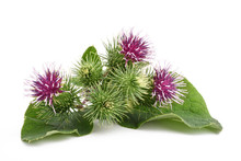 Greater Burdock Flowers