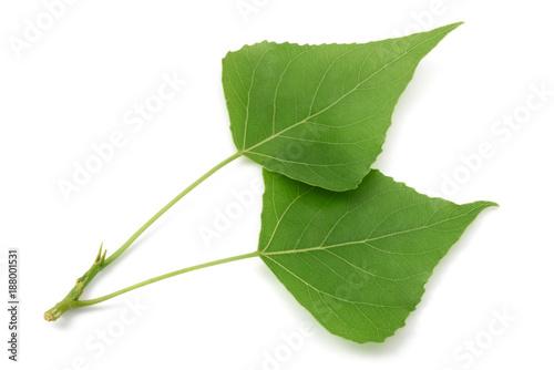 Photo fresh poplar leaves