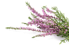 Purple Heather Flowers