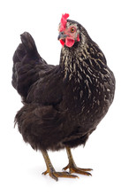 Black Hen Isolated.