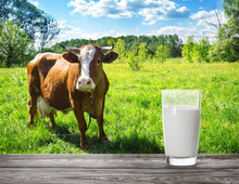 Glass Of Milk Against Meadow Background With Brown Cow