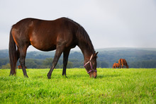 Brown Horse Grazing On Pasture...