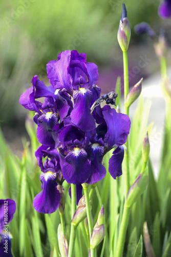 Spoed Foto op Canvas Iris Purple iris flowers