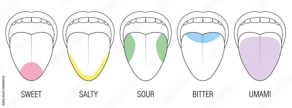 Fototapeta Human tongue with five taste areas - bitter, sour, sweet, salty and umami perception - colored division with zones of different taste buds - educational, schematic vector on white background.