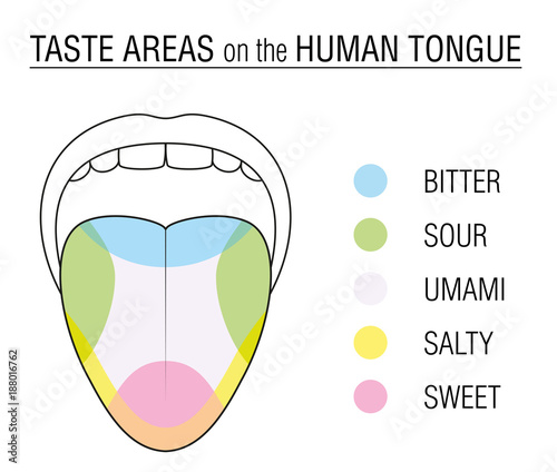 Valokuvatapetti Taste areas of the human tongue - colored division with zones of taste buds for bitter, sour, sweet, salty and umami perception - educational, schematic vector illustration on white background