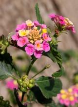 Wandelröschen (Lantana Camara) Mit Blüten