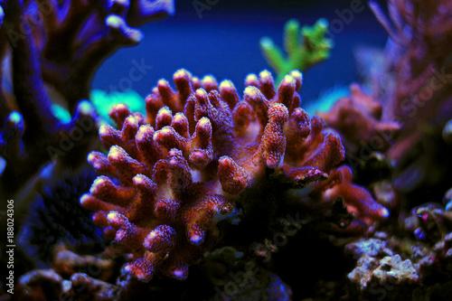 Plakat Colourful sps koralowy w rafowym zbiorniku