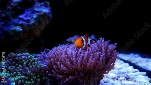 Fotografía Clownfish the most popular saltwater fish in aquariums