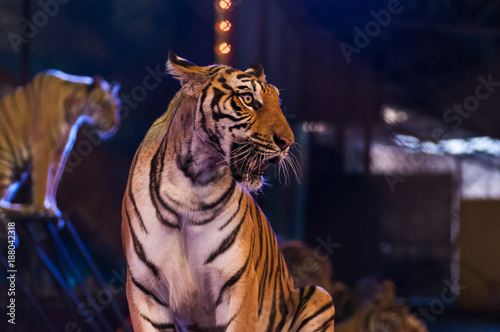 tigers in the circus arena