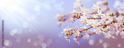 obstbaumblüte im frühling