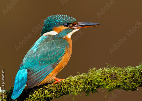 Close up of a Female Common kingfisher Canvas Print