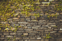 Dark Old Brown Stone Wall Consisting Of Massive Bricks And Braided With Climbing Plants. Geometric Rectangular Pattern. Ideal Background For Collages And Illustrations. Artistic Retouching.